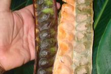 Dried-Petai-Pods