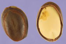 Dried-Petai-seed