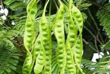 Petai-on-the-plant