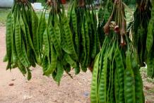 Petai-sold-in-Market