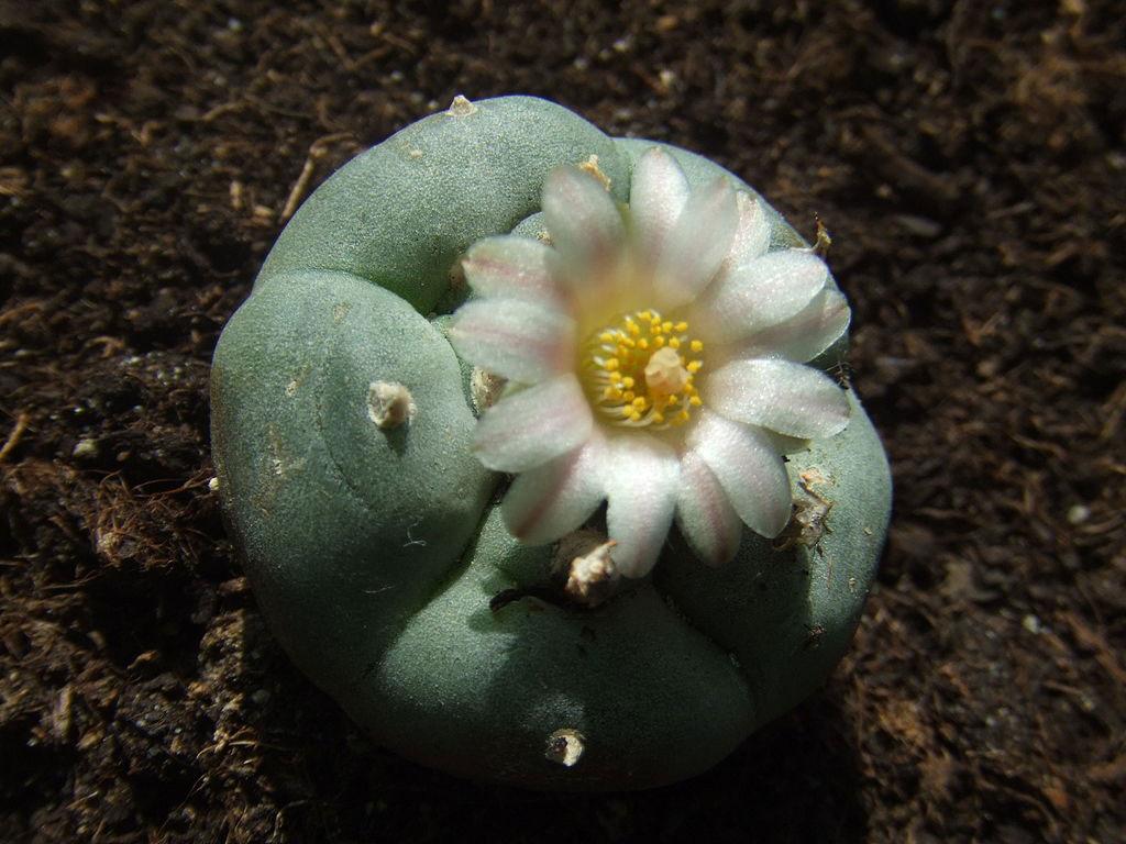 Flowering-Peyote