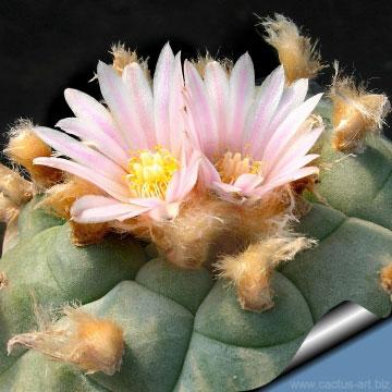 Flowers-of-Peyote