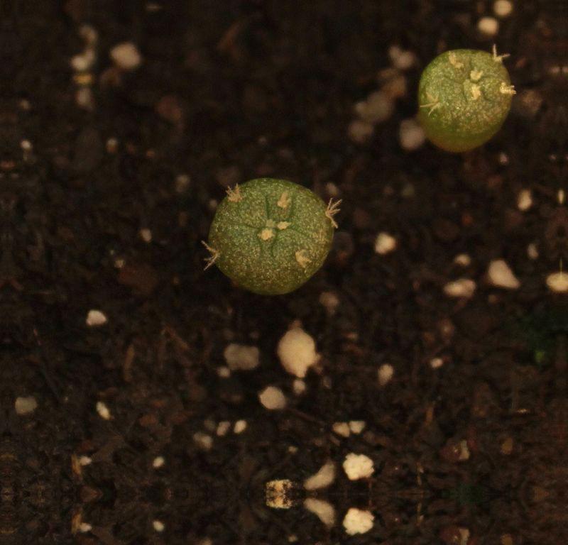 Seedling-of-Peyote