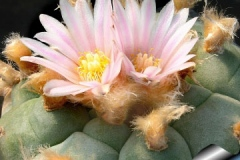 Flowers-of-Peyote