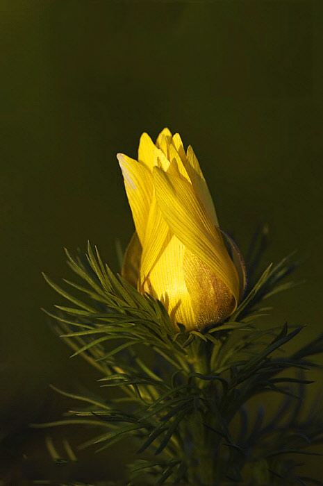 Flowering-buds-of-Adonis-vernalis