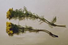Dried-Pheasant's-Eye-plant