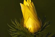 Flowering-buds-of-Adonis-vernalis