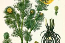 Illustration-of-Pheasant's-Eye-plant