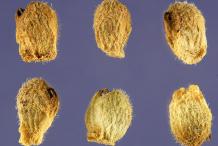Seeds-of-Pheasant's-Eye-plant