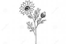 Sketch-of-Pheasant's-Eye-plant