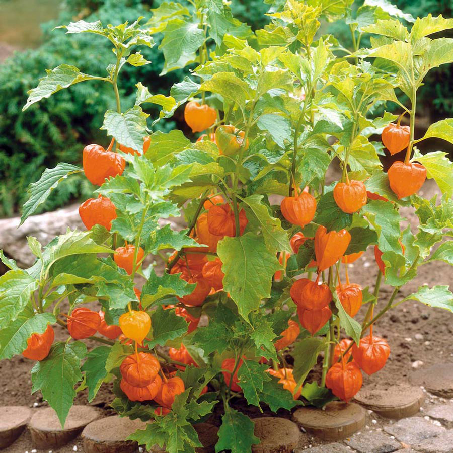 physalis facts health benefits and nutritional value. Black Bedroom Furniture Sets. Home Design Ideas