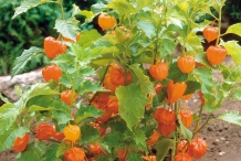 Physalis-in-the-plant