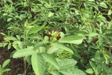 Leaves-and-buds-of-Pigeon-peas