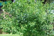 Pigeon-peas-plant