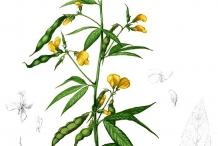 Plant-illustration-of-Pigeon-peas