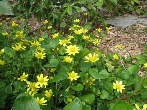 Pilewort-Bushes