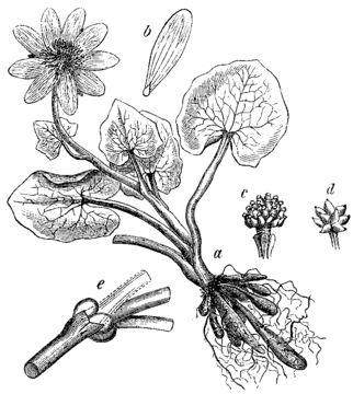Pilewort-Sketch