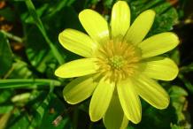 Pilewort-Flower