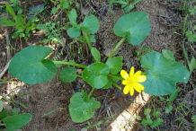 Small-Pilewort-plant