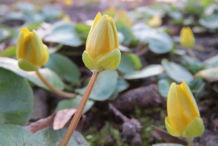 Pilewort-Buds