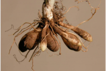 Root-tubers-of-Pilewort-plant