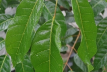 Pili-nut-leaves