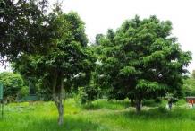 Pili-nut-tree