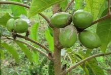 Pili-nut-fruit