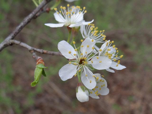 Flowers-of-Pin-Cherry
