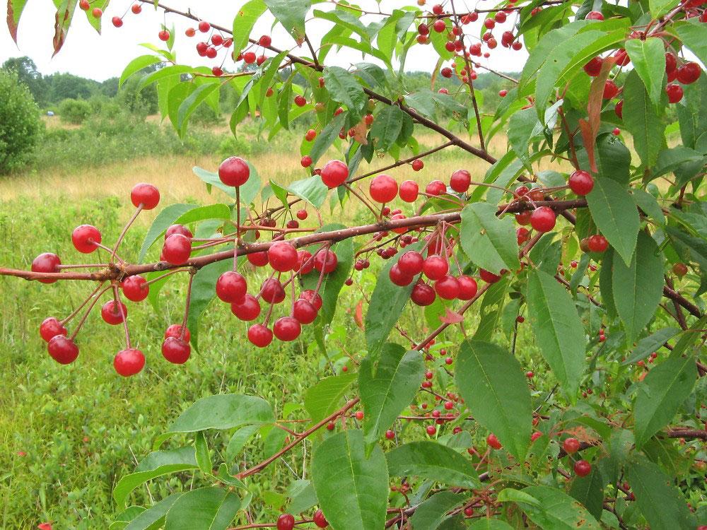 Mature-fruits-of-Pin-Cherry