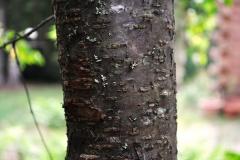 Bark-of-Pin-Cherry