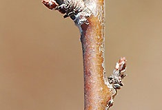 Buds-of-Pin-Cherry