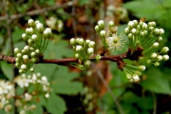 Flowering-buds-of-Pin-Cherry