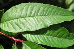 Leaves-of-Pin-Cherry