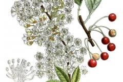 Plant-Illustration-of-Pin-Cherry