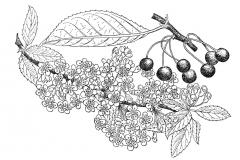 Sketch-of-Pin-Cherry