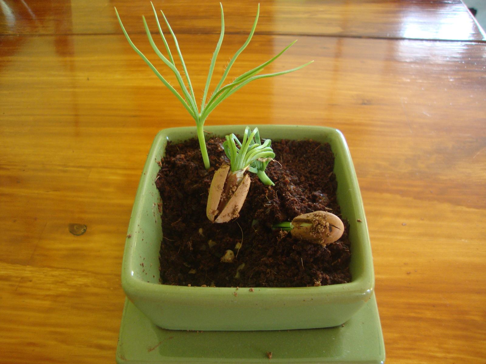 Pine-nut-bonsai