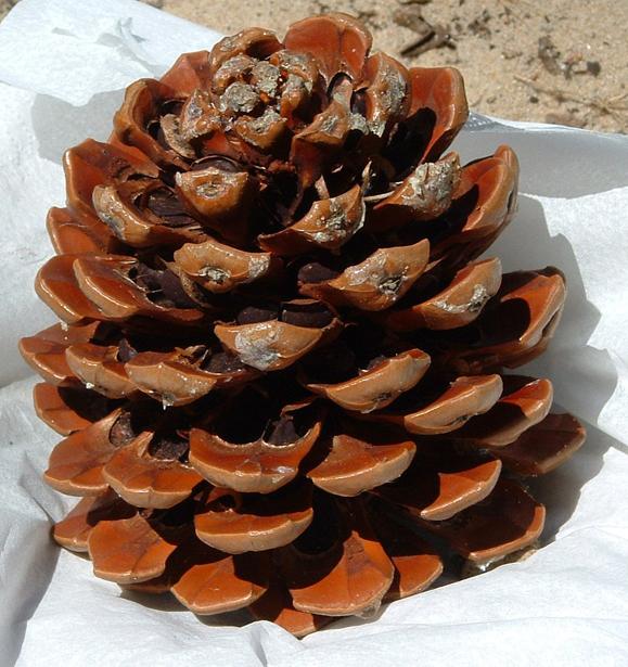 Pine-nut-cone-dried