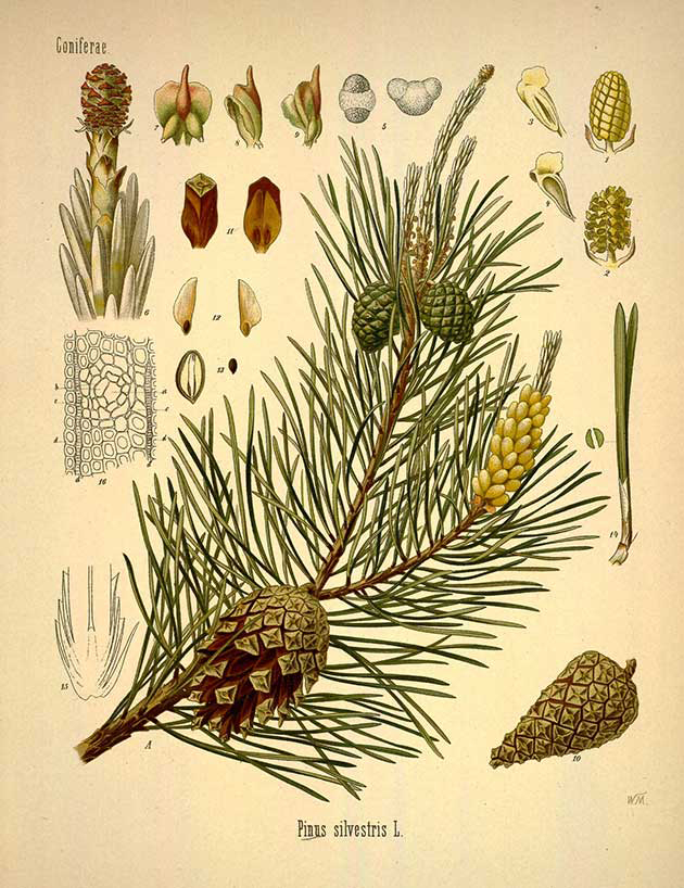Pine-nut-illustration