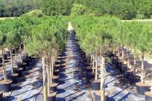 Pine-nut-farm