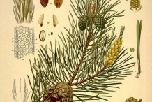Pine-nut-illustration