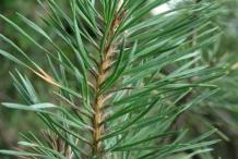 Pine-nut-needles