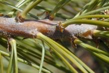 Pine-nut-stem