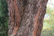 Pine-nut-bark