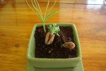 Pine-nut-bonsai