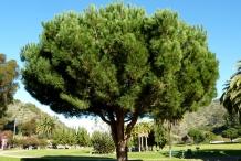 Pine-nut-tree