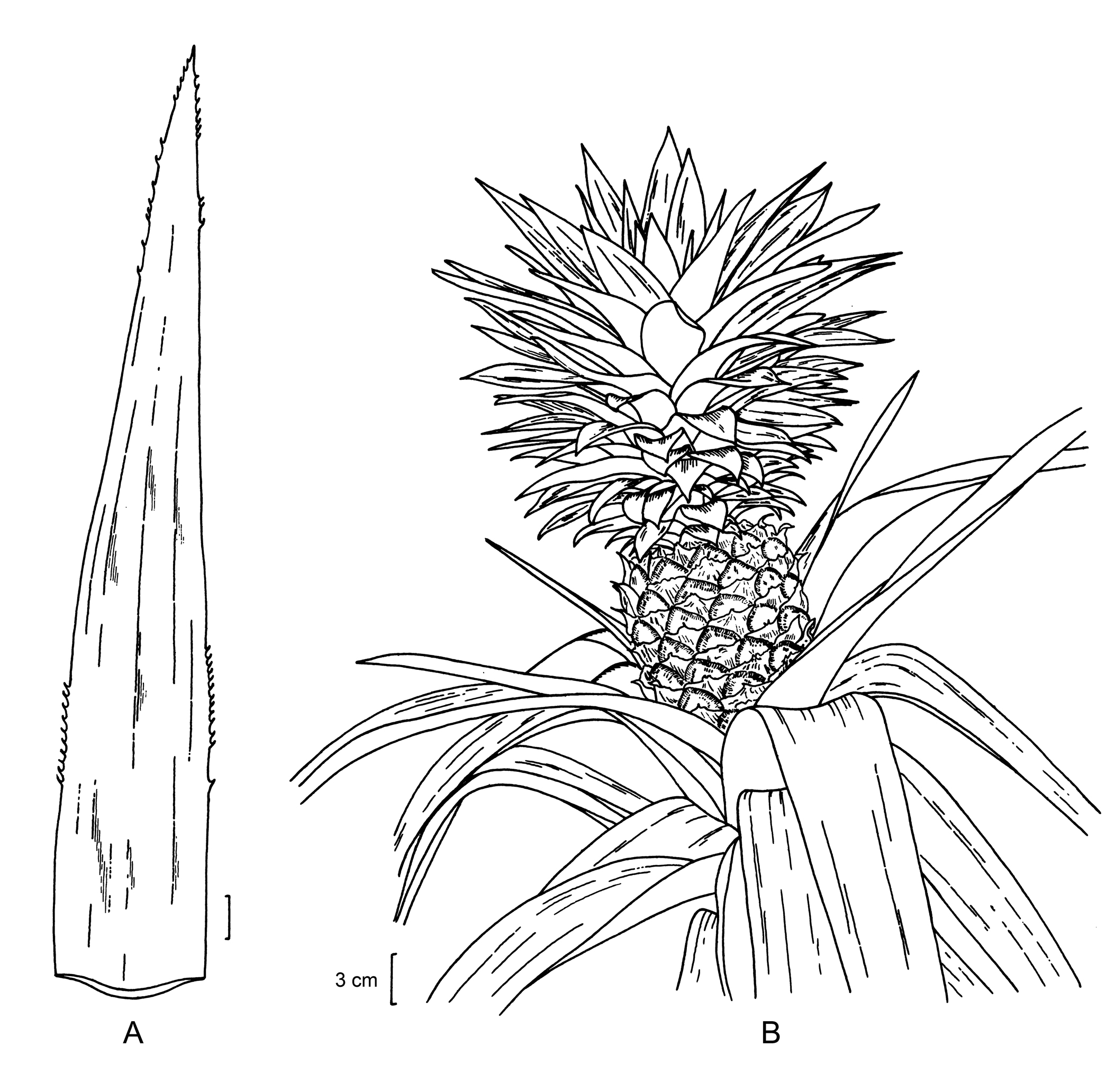 Pineapple-drawing