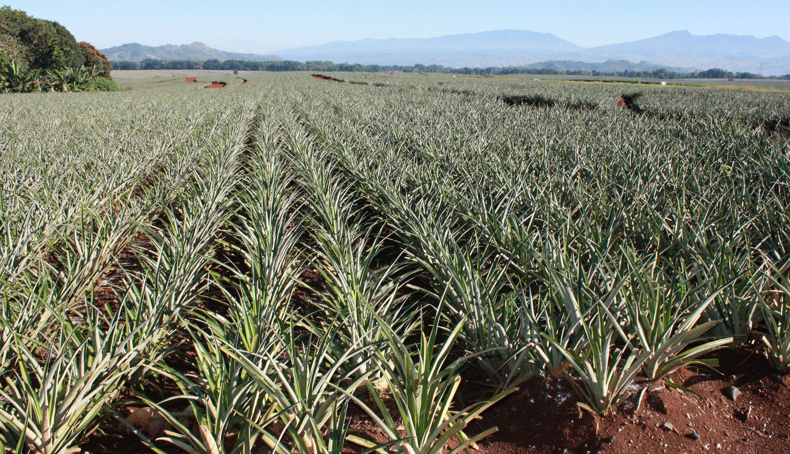 how to grow a pineapple farm