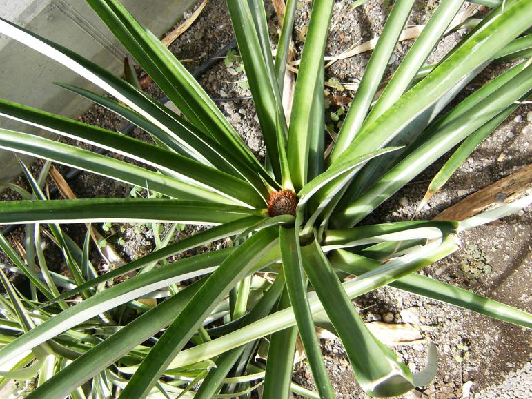 Pineapple-leaves