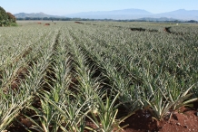 Pineapple-farm
